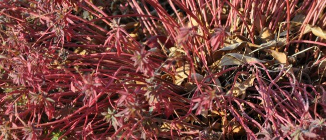 Fall Foliage Perennials